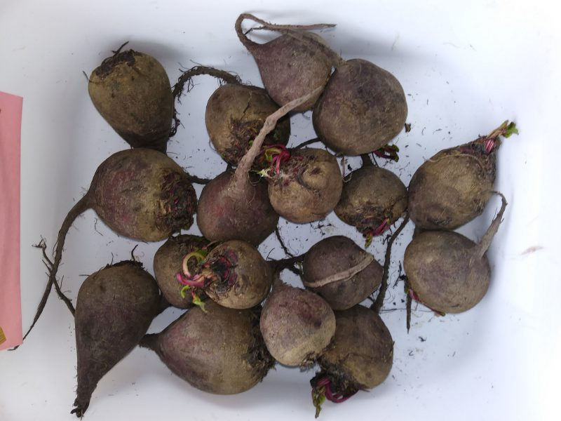 Beet/Beetroot (Beta vulgaris)