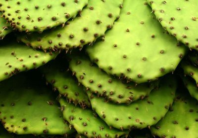 Nopales : Pear Pad Cactus